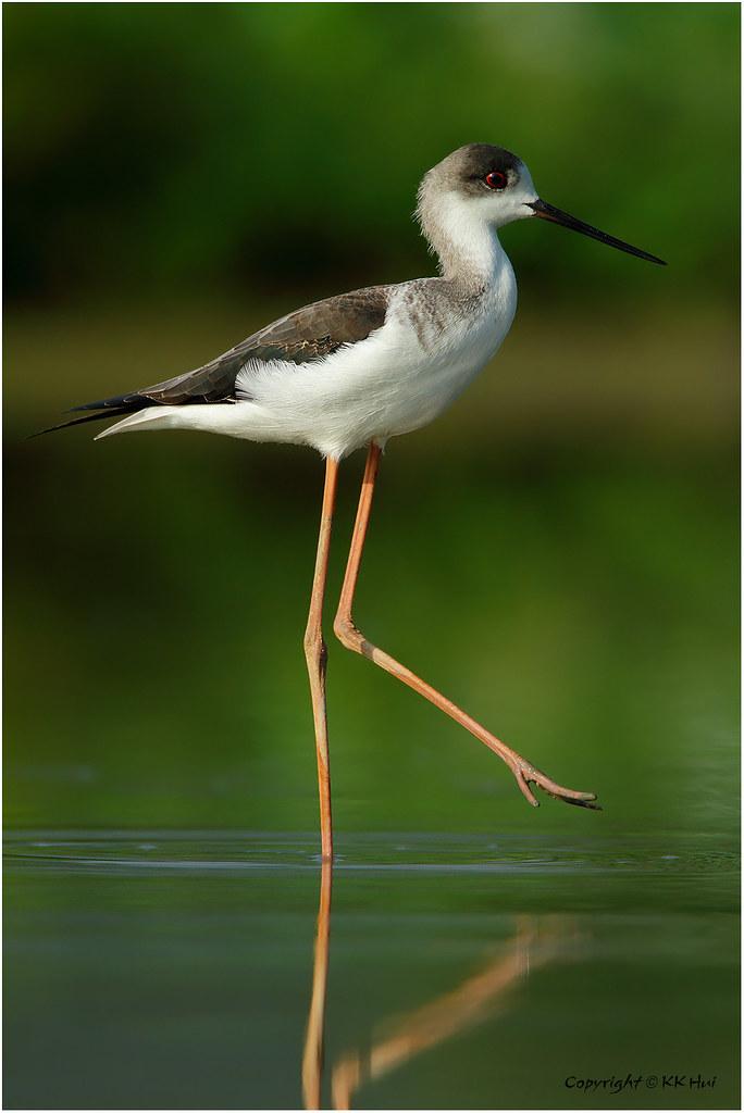 Black-winged Stilt (Himantopus himantopus) 黑翅長腳鷸 - 131010_MG_8337x