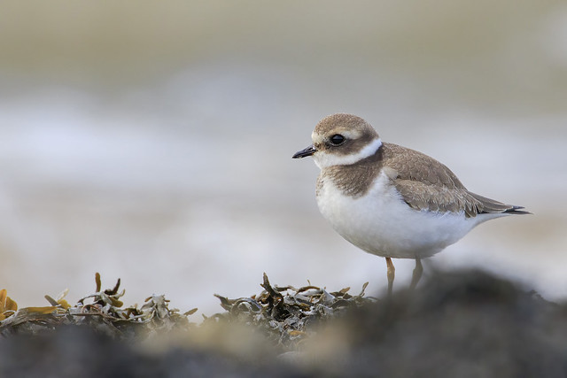 Ringed Plover W - SR1A5056