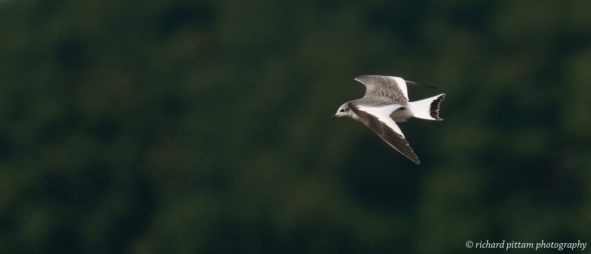 Juvenile Sabine's Gull [Xema sabini] - a stunning gull. However, a bad heat haze day - solution - get up earlier!