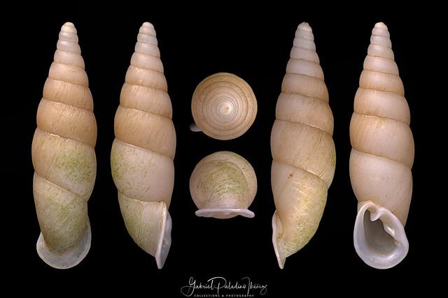 Formosana formosensis (H.Adams, 1866)