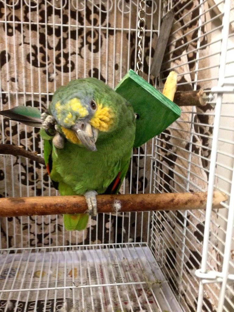 Orange-winged Amazon (Cheko)