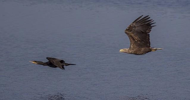 Seeadler jagt Kormoran