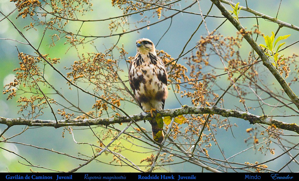 ROADSIDE HAWK Juvenile Rupornis magnirostris in Mindo in Northwestern ECUADOR. Photo by Peter Wendelken.
