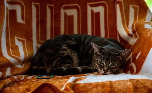 animals black blanket brown cat chair colorful cute den furry green grey horizontal indoor lying montana morning orange portrait setting summer tan thompsonfalls white