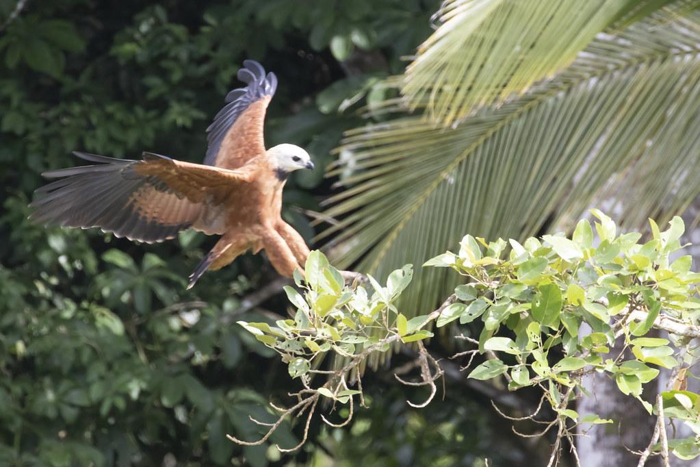 Busarellus nigricollis / Black-collared Hawk