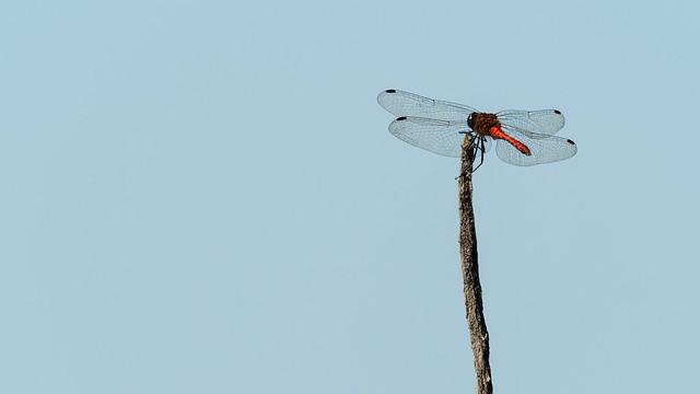Heidelibel op uitkijk