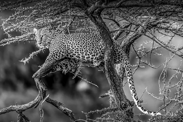 léopard bw-2