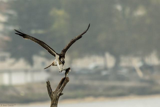 Águia-pesqueira   Osprey (Pandion haliaetus)