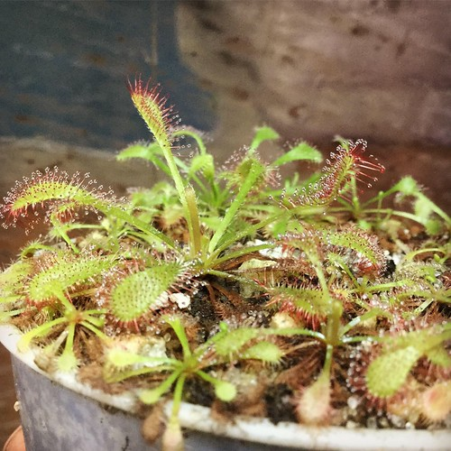 "D. tokaiensis x capensis ""typical"" 