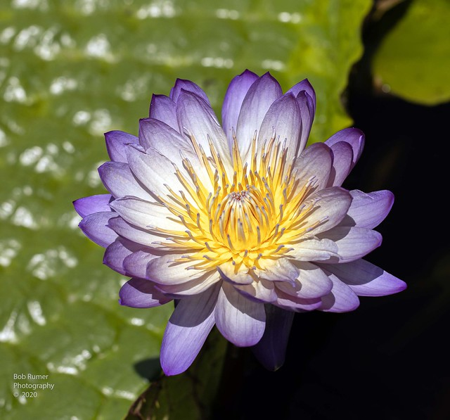 Tropical Day-Flowering Water Lily 5.