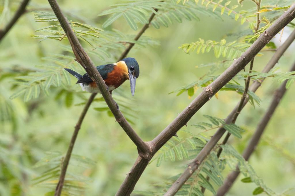 Chloroceryle aenea / American Pygmy Kingfisher