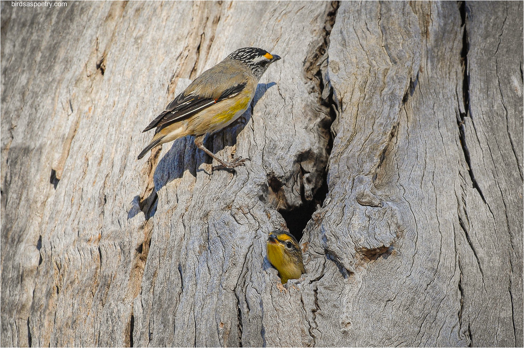 Striated Pardalote: Flight day Difficulties.