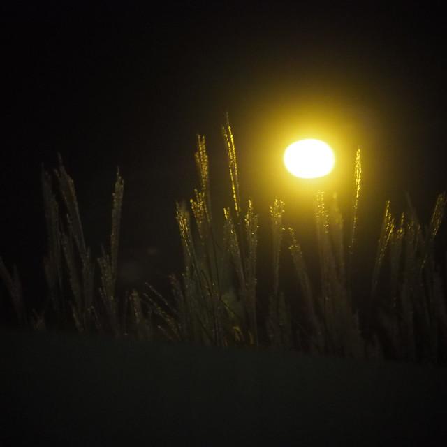 Wheat with street light