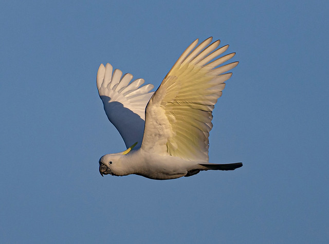 Cockatoo Flyby