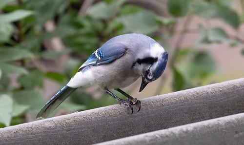 Leucistic Blue Jay