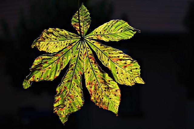 Chestnut Tree Leaf #2 (Explore 15.09.2020)