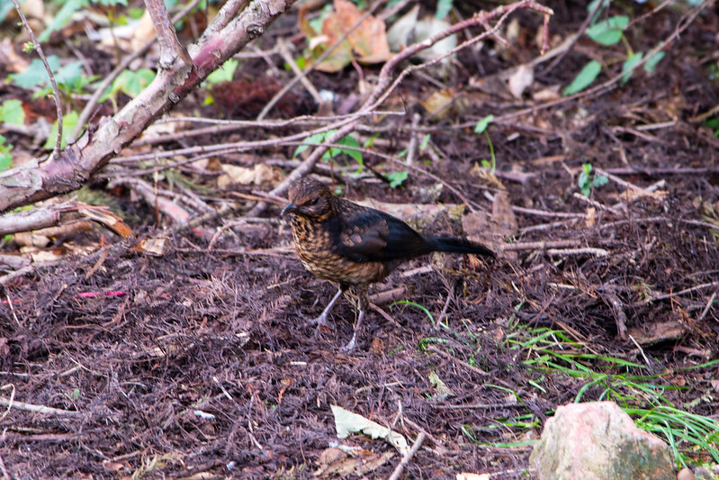 Young (and speckled) blackbird