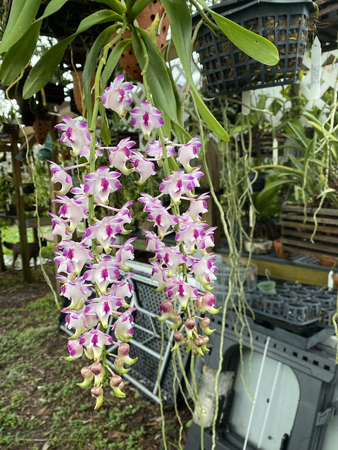 Aerides lawrenceae in flower.