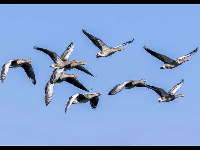 Greylags against a blue sky