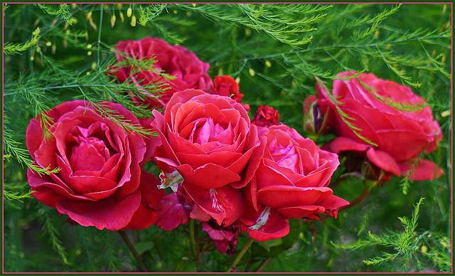 Der Duft der Rose ...