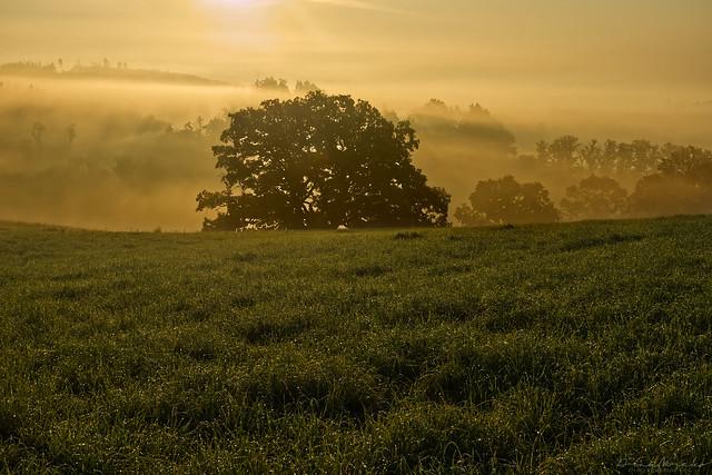 Foggy sunrise near big oak