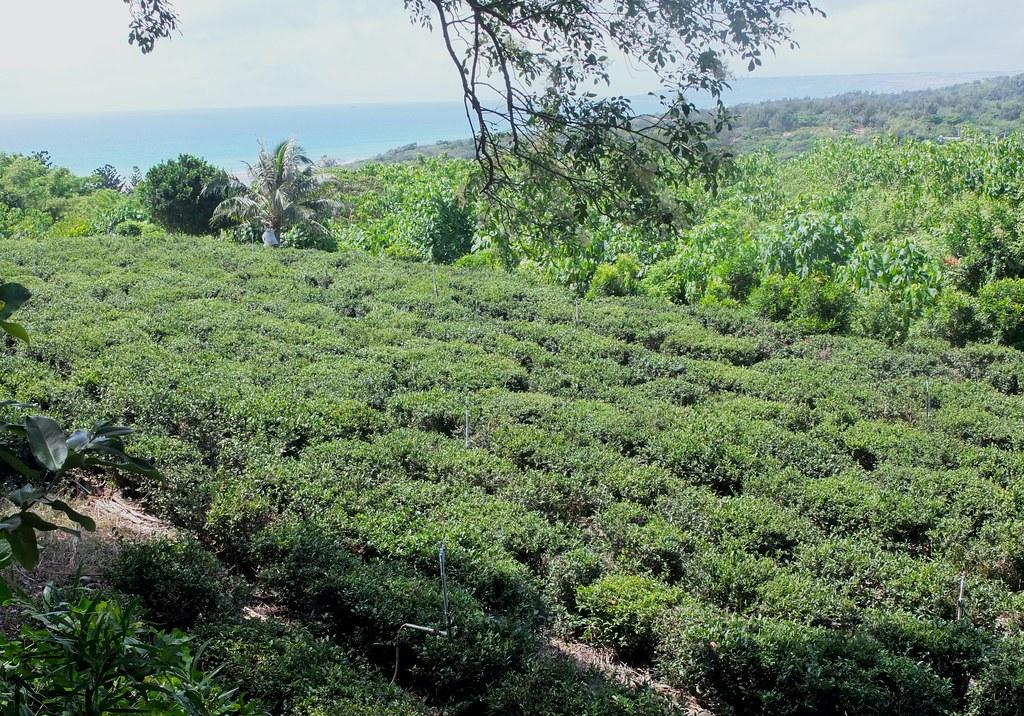 港口茶是滿州鄉傳統特色農作,因長於港口村而得名。是台灣唯一實生種和原生種的茶樹。鄭雅云攝。