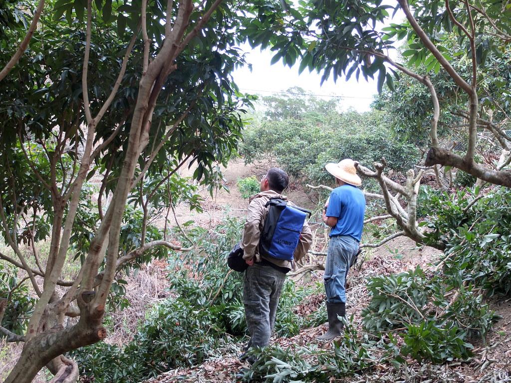 獼猴防治是一項長期抗戰。「獼猴危害防治輔導平台」計畫助理高明脩(左)和農民劉添祥(右)觀察果園防治效果。鄭雅云攝。