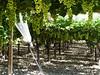 Sicílie, vinice nedaleko Granieri, foto: Petr Nejedlý