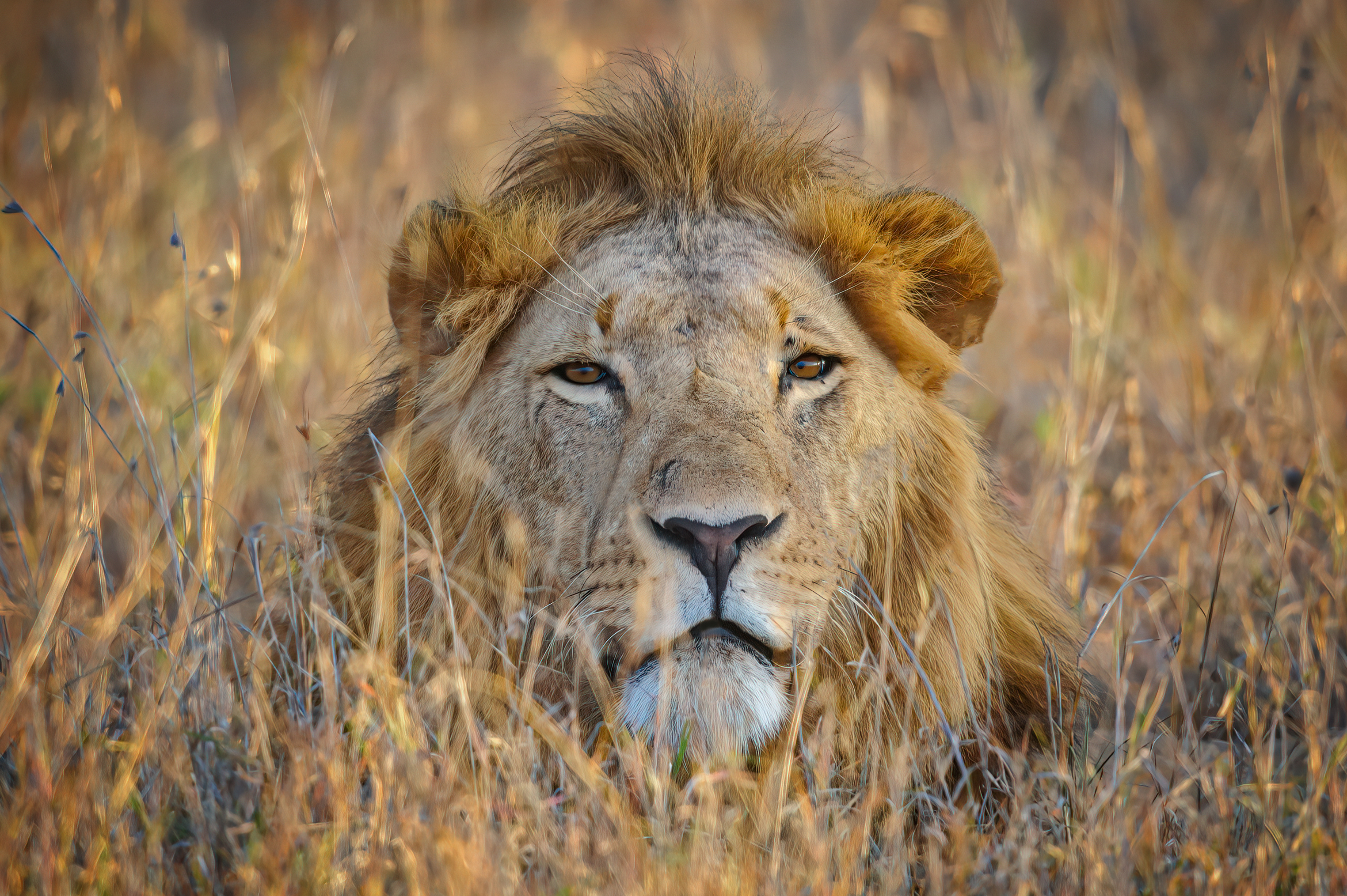 Male lion resting in the grassland in the early morning at Ol Pejeta Conservancy, Kenya, East Africa