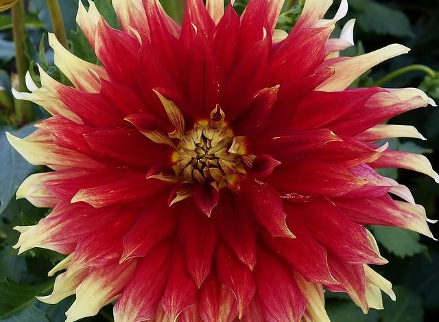 Germany , Dahlienblüte im Killesberg-Park,  76891/12955