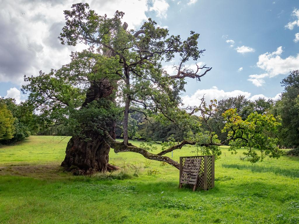 Le chêne à Guillotin... 50345688391_0f67650001_b