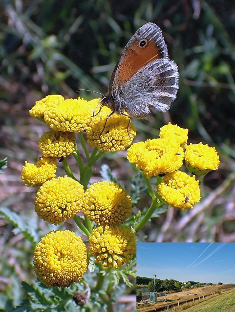Arid Survivor. Small Heath Butterfly, Coenonympha pamphilius, on Tanacetum vulgare, Tansy, Meuse Corridor, Venlo, The Netherlands