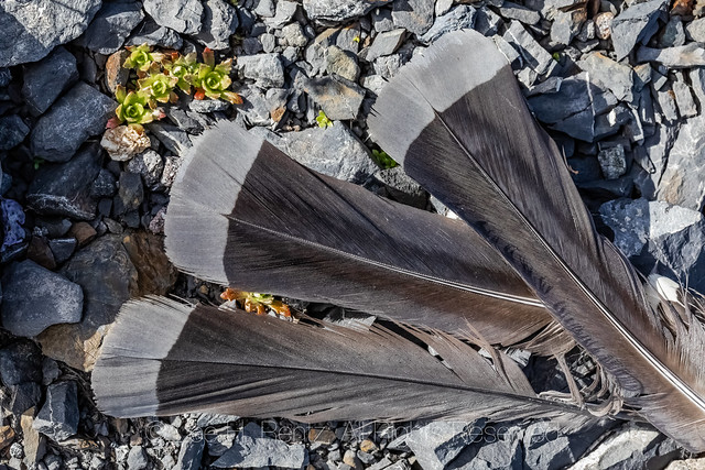 Sooty Grouse Feathers on Heliotrope Ridge