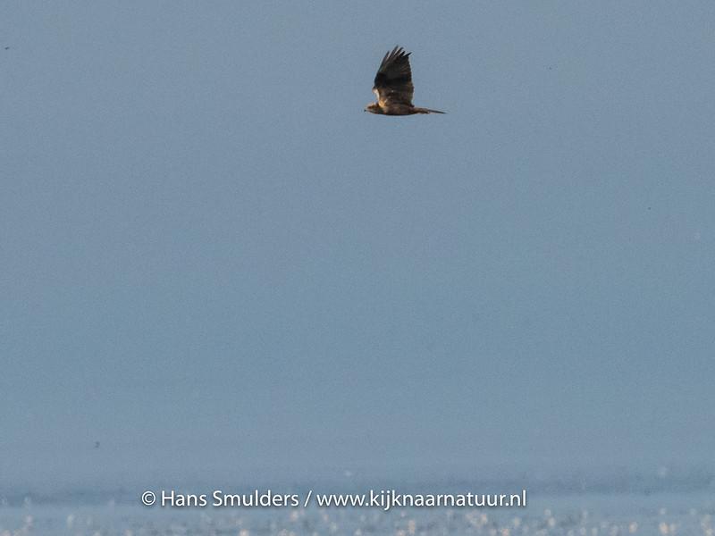 Bruine kiekendief (Circus aeruginosus)-820_5239
