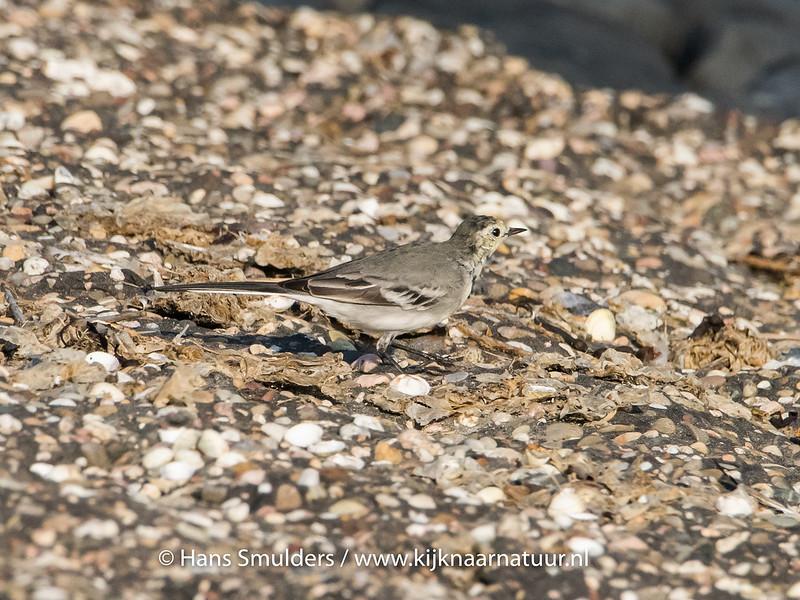 Witte kwikstaart (Motacilla alba)-820_5209