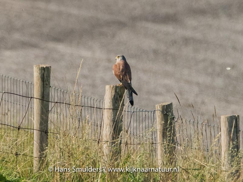 Torenvalk (Falco tinnunculus)-820_5223