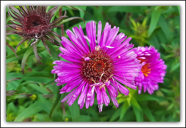 Flower Of The Day - Aster Purple Dome