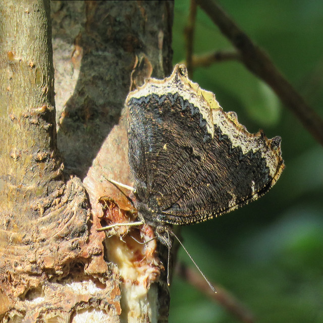 Mourning Cloak butterfly, underwing