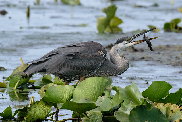 Great Blue Heron and Catfish - 0012