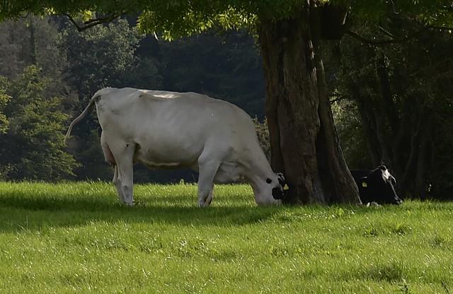 Ein Rind versucht eine Esche umzustürzen; Bergenhusen, Stapelholm (1)