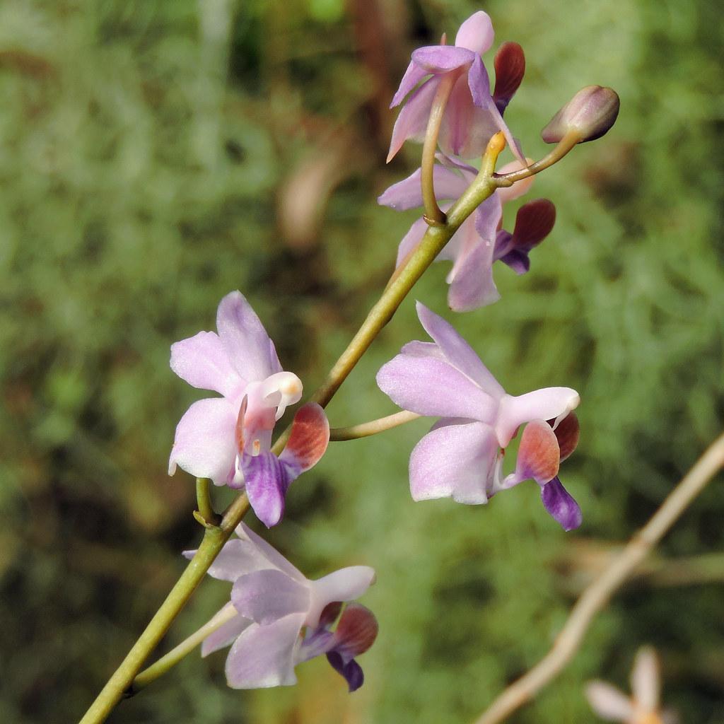 2020-09-15  Phalaenopsis pulcherrima - BG Teplice