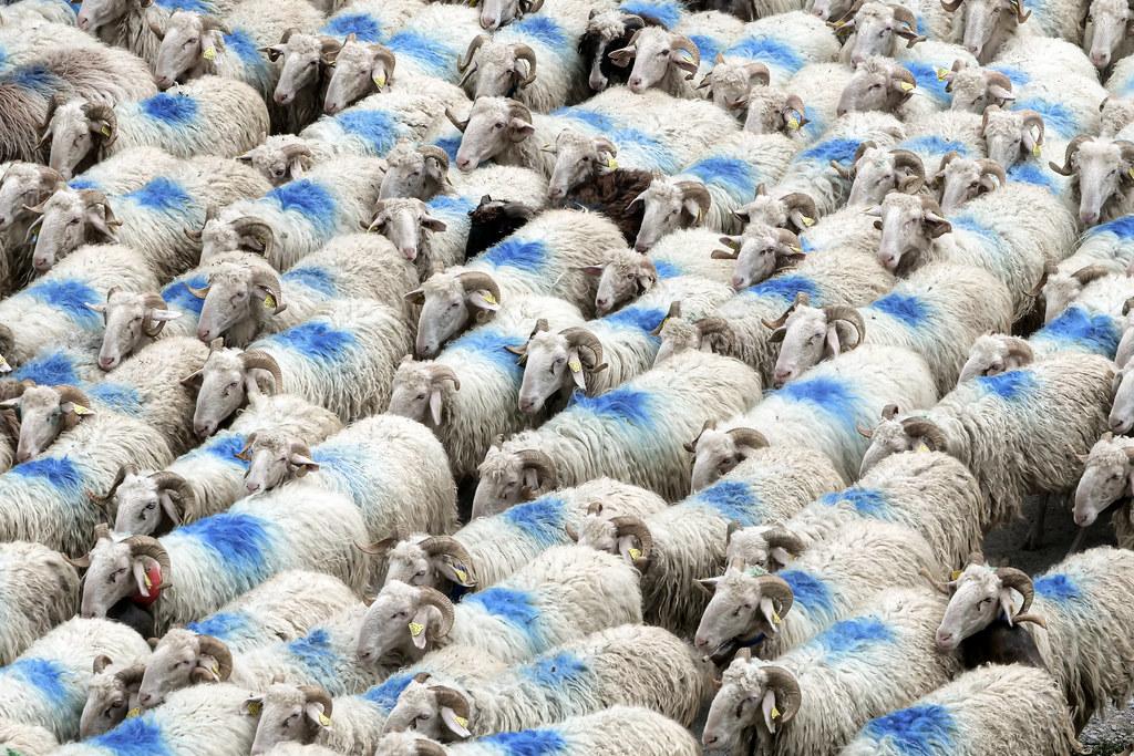 Retour à la bergerie en rangs serrés - So close !