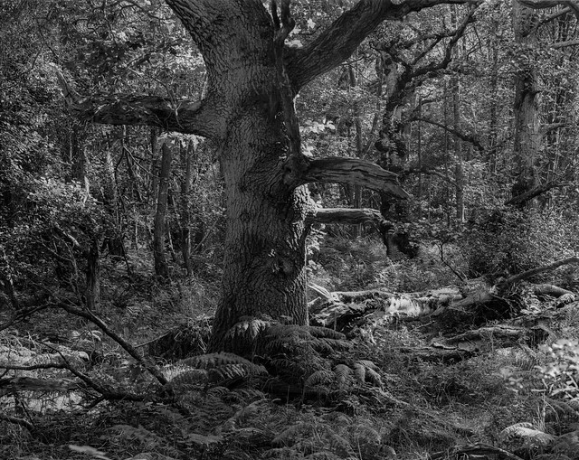 Hyons Wood, Walker Titan SF with Rodenstock 300mm, Ilford Ortho  Plus in HC110