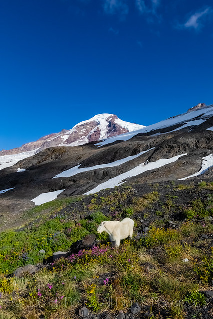 Mountain Goat and Mount Baker