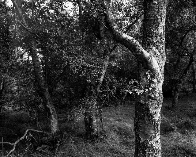 Hyons Wood, Walker Titan SF with Nikkor 90mm, Ilford Ortho  Plus in HC110