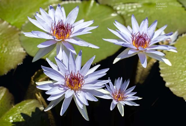 Hardy Water Lilies.