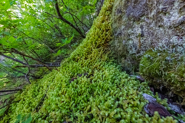 Pipe Cleaner Moss along Heliotrope Ridge Trail
