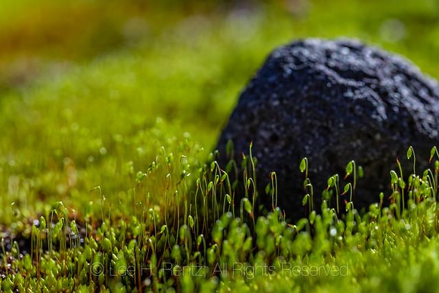 Mosses on Heliotrope Ridge