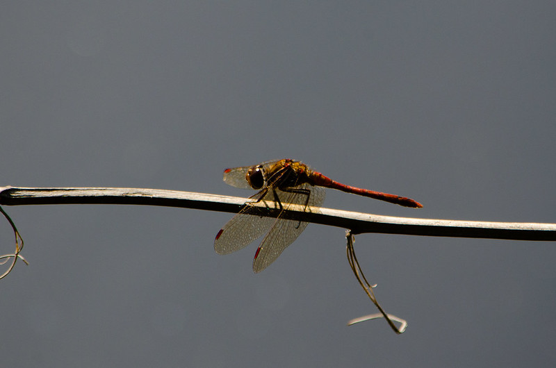 Smestow Valley dragonflies: common darters at rest