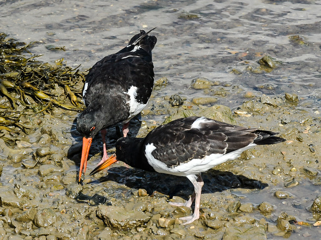 Adult and Juv oyster catcher, it was showing it how to hunt in the mud